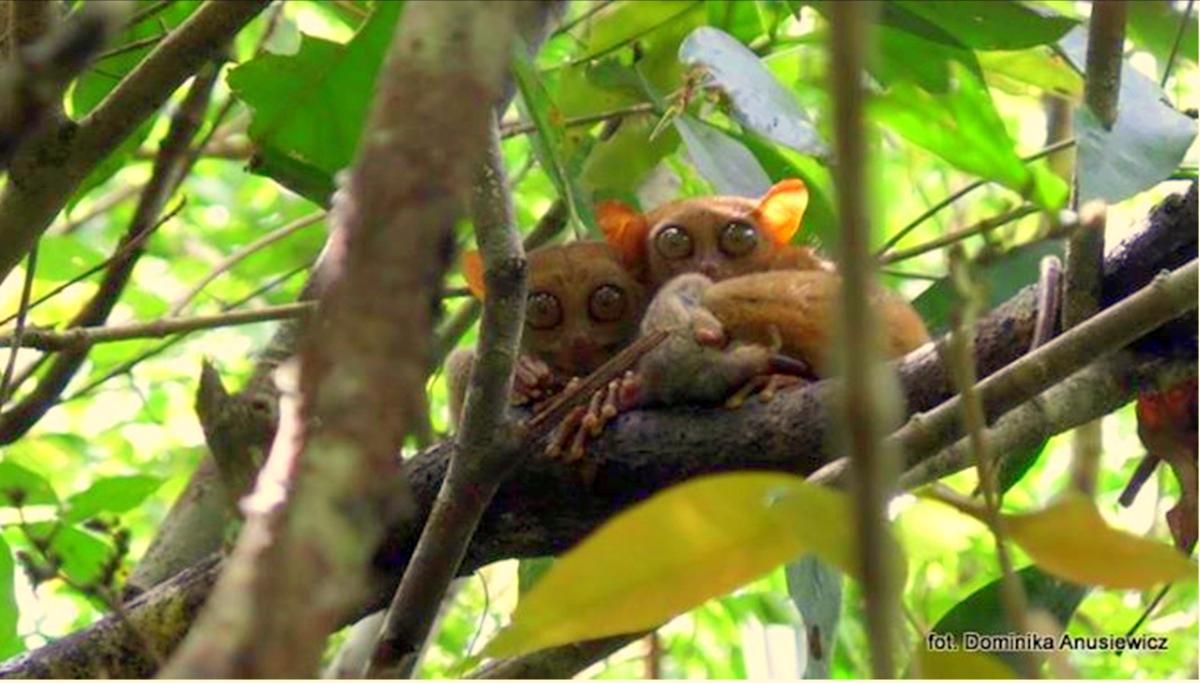 """If you are anywhere in Bohol or near Bohol, then you probably have heard about the Philippine Tarsier. You might think, """"is it really worth seeing them?"""" or """"Aren't they just small monkeys with rea..."""